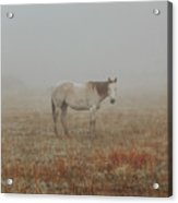 Red Roan In Mist Acrylic Print