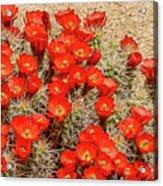 Red Rock Flowers Acrylic Print