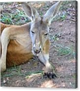 Red Roo Resting Acrylic Print