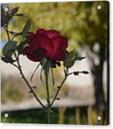 Red Rose 1 Acrylic Print