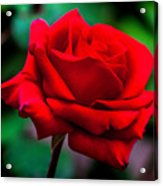 Red Rose 2 Acrylic Print