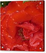 Red Rose After Rain Acrylic Print