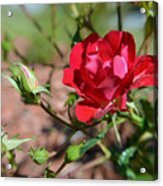 Red Rose And Buds Acrylic Print