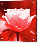 Red Rose Beauty Acrylic Print