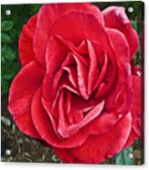 Red Rose F135 Acrylic Print