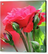 Red Rose Flower Acrylic Print