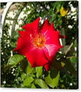 Red Rose In Summer Acrylic Print