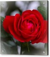 Red Rose Acrylic Print by Issabild -