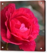 Red Rose Of May Acrylic Print