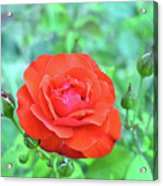 Red Rose On Natural Background With Green Leaves. Acrylic Print