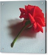 Red Rose Plucked Acrylic Print