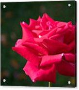 Red Rose Profile Acrylic Print