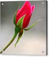 Red Rose Simplicity Acrylic Print