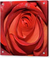 Red Rose Up Close Acrylic Print