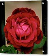 Red Rose  V2 Acrylic Print