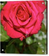 Red Rose With Droplet Acrylic Print