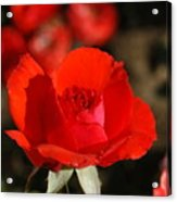 Red Rosebud Opening Acrylic Print