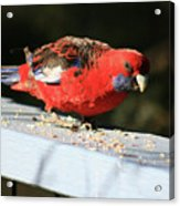 Red Rosella Acrylic Print