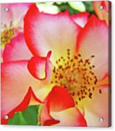 Red Roses White Yellow Rose Flower Floral Art Print Baslee Troutman Acrylic Print