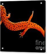 Red Salamander Acrylic Print