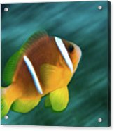 Red Sea Clownfish  Acrylic Print