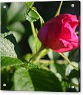 Red Semi Rose Bud Acrylic Print