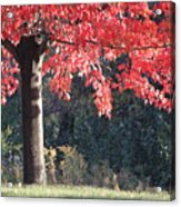 Red Shade Tree Acrylic Print