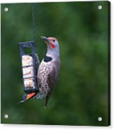 Red-shafted Northern Flicker On Suet Acrylic Print