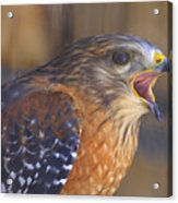 Red Shoulder Hawk Acrylic Print