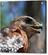 Red Shouldered Hawk - Profile Acrylic Print