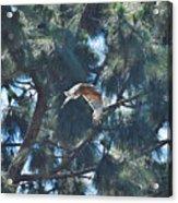 Red Shouldered Hawk Flying Away 1 Acrylic Print