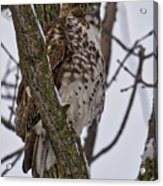 Red Shouldered Hawk - Madison - Wisconsin Acrylic Print