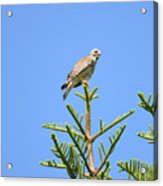 Red-shouldered Perch Acrylic Print