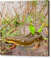 Red Spotted Newt Acrylic Print