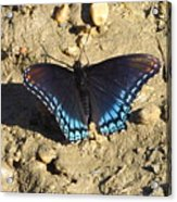 Red Spotted Purple Astyanax Acrylic Print