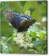 Red-spotted Purple Butterfly On Privet Flowers Acrylic Print