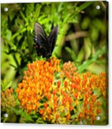 Red Spotted Purple Butterfly Acrylic Print