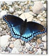 Red Spotted Purple Acrylic Print