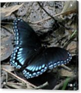 Red Spotted Purple Swallowtail Butterfly Acrylic Print