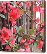 Red Spring Acrylic Print