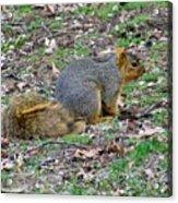 Fox Squirrel 2 Acrylic Print