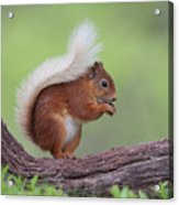 Red Squirrel Curved Log Acrylic Print