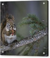 Red Squirrel Having Lunch Acrylic Print