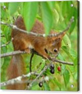 Red Squirrel In The Cherry Tree Acrylic Print