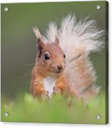 Red Squirrel In Vegetation Acrylic Print