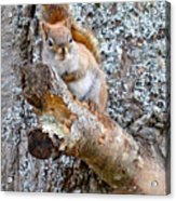 Red Squirrel Maine Acrylic Print