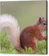 Red Squirrel Pauses Acrylic Print