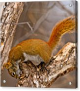 Red Squirrel Pictures 145 Acrylic Print