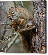Red Squirrel Pictures 161 Acrylic Print