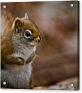 Red Squirrel Pictures 170 Acrylic Print
